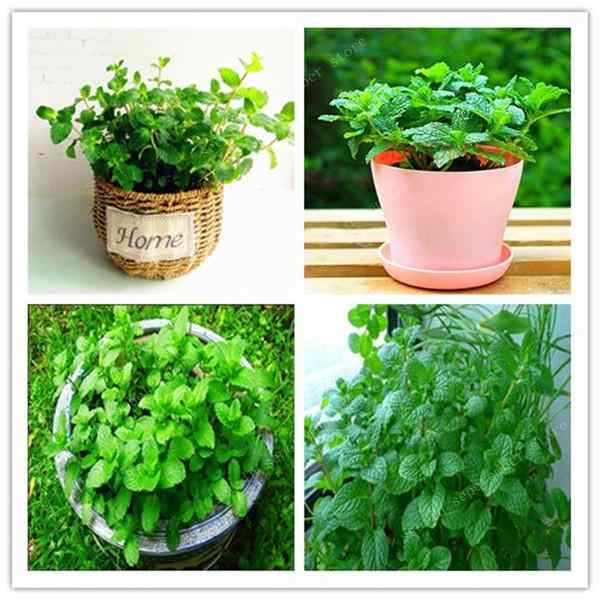500pcs/bag Mint Bonsais potted herb edible Plants in bonsai or pot Organic Plantas vegetables for home and garden free shipping