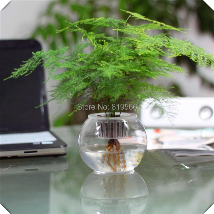 Asparagus fern Grass Seeds green Outdoor garden Green ...