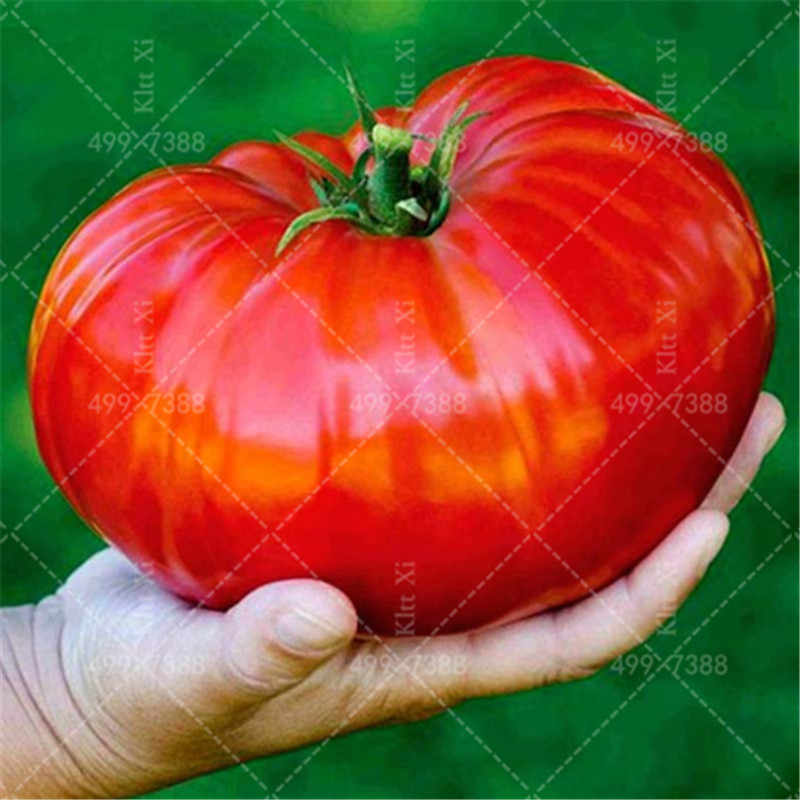 Rare Giant Tomato Japanese Sweets Heirloom Bonsai Textured Flesh Large Vegetable Bonsai For Home Garden DIY Potted Plant 100 PCS