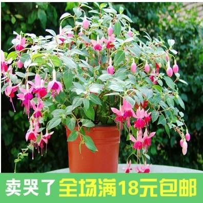 Mini Spider Plant Evergreen Flowers Fuchsia Flower Color Lantern