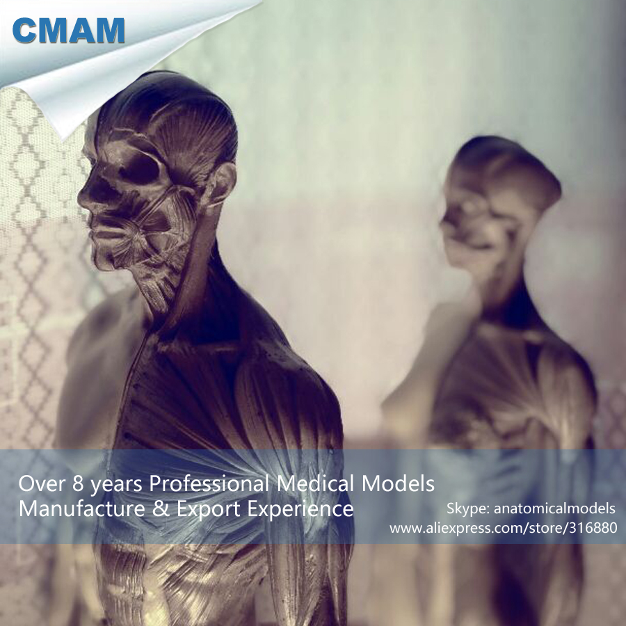 CMAM PRC03 30cm 1 6 Human Body Anatomy Model cg 3Dmax Model Teaching Model Medical Model