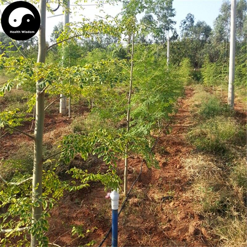moringa oleifera plant kopen