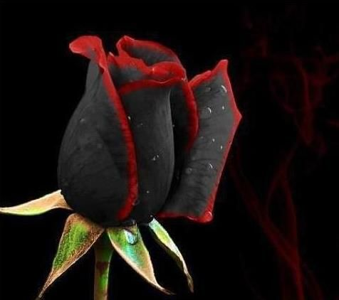 20 Seeds China Rare Black Rose Flower Lover DIY Plants Home Garden     20 Seeds China Rare Black Rose Flower Lover DIY Plants Home Garden Rare  Black Rose Flower