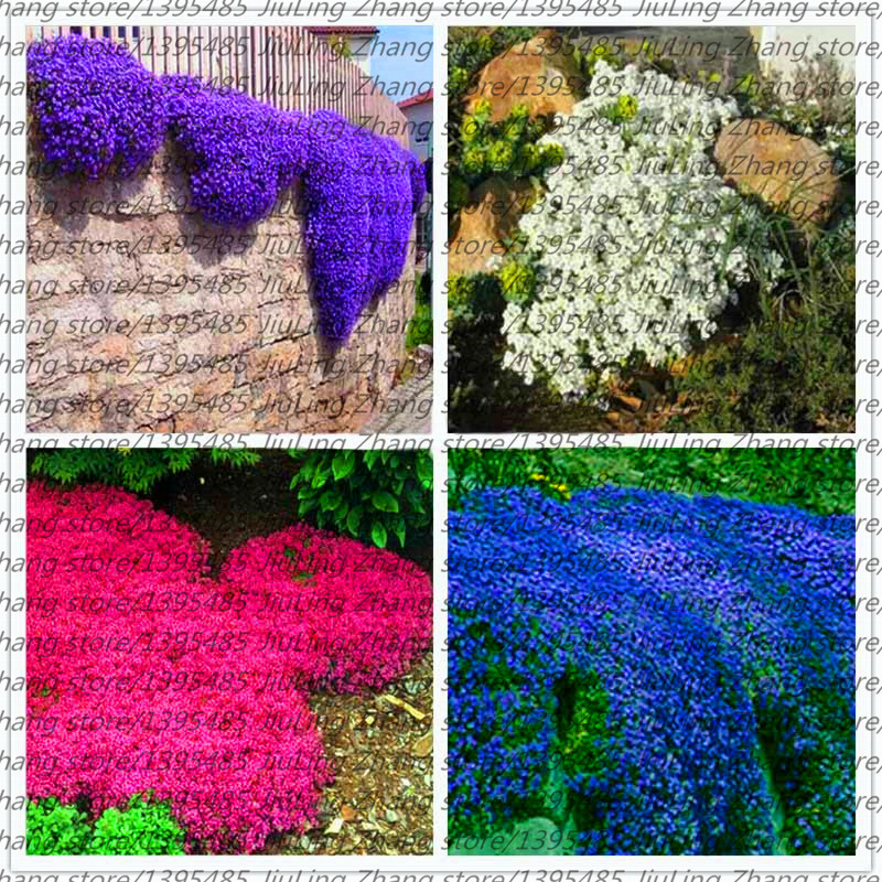 100pcs/bag Creeping Rock Cress Thyme Seeds or Blue ROCK CRESS Seeds Perennial Ground cover flower Natural growth for home garden