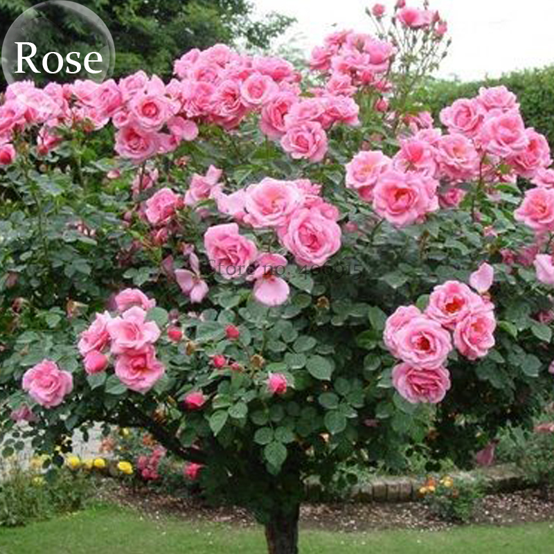 Big pink double petalled rose tree 50 seed open pollinated big pink double petalled rose tree 50 seed open pollinated dazzling flower tree e3944 in bonsai from home garden on aliexpress alibaba group mightylinksfo