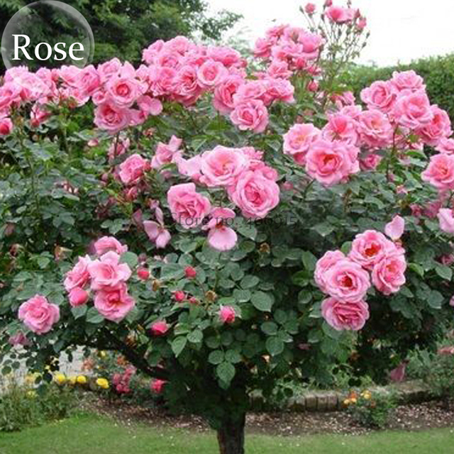Big pink double petalled rose tree 50 seed open pollinated big pink double petalled rose tree 50 seed open pollinated dazzling mightylinksfo