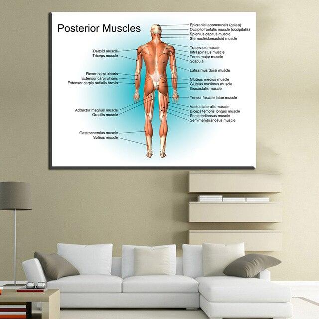 Xdr612 Cuerpo humano Anatomical Chart sistema muscular artes cartel ...