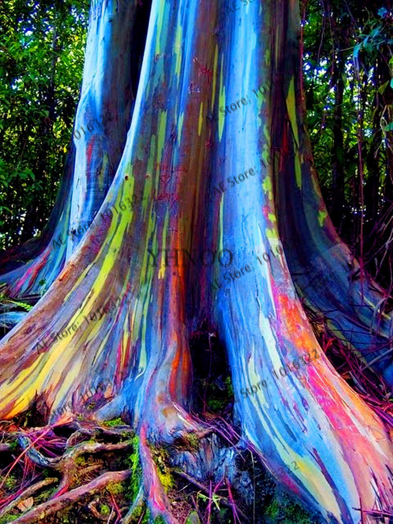 100 قطعة/الحقيبة هاواي قوس قزح الكافور شجرة ، 100% حقيقية جميلة الزينة شجرة ، شحن مجاني
