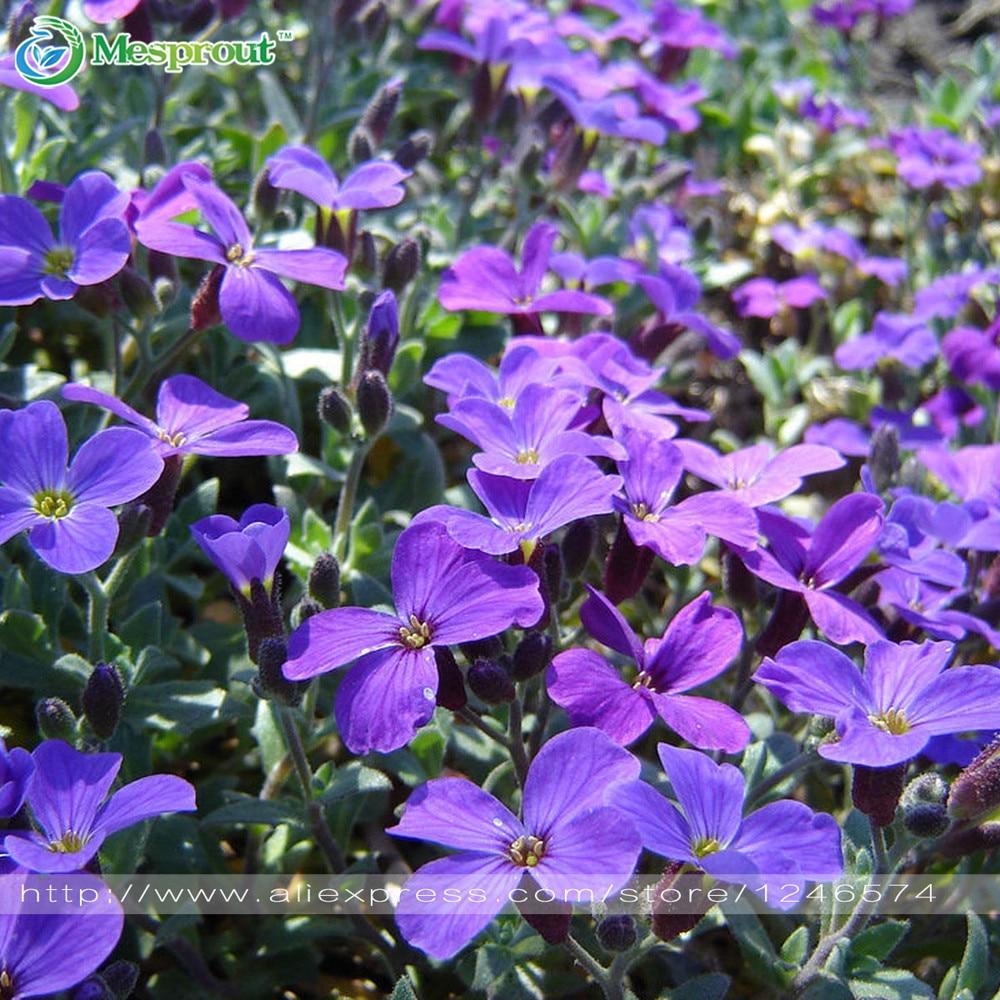 Flower Seeds 100 Aubrieta Seeds Cascade Purple Flower Seeds