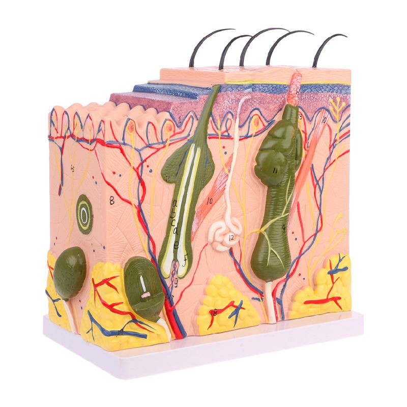 Easy to used Human Skin Model Block Enlarged Plastic Anatomical Anatomy specially for Medical Teaching Tool human skin tissue structure enlarged model of hair follicle human anatomy model vertical skin anatomical model gasen rzpf008