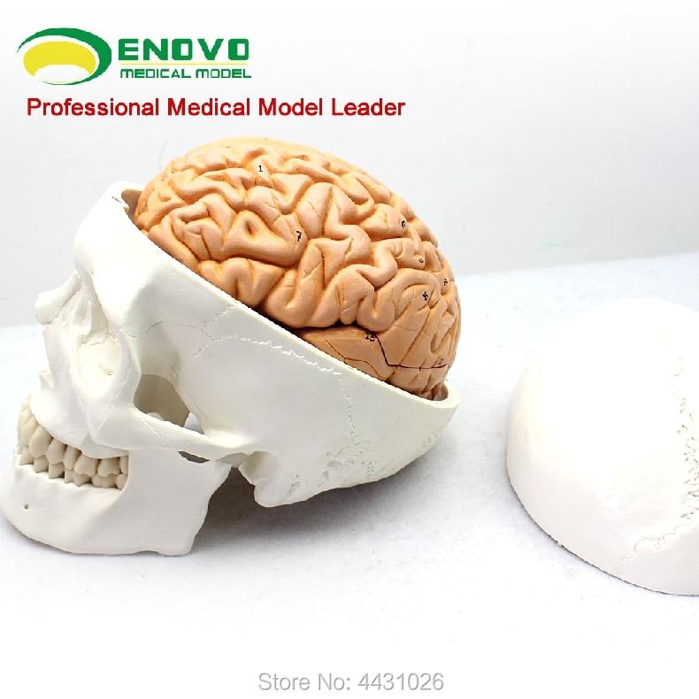 ENOVO Brain skull model of medical human.skull brain 1:1 brain model anatomy neurology конструктор fat brain toys pipsquig fa089 1