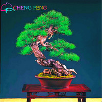 20 Particles / Bag Pine Tree Seeds Bonsai Pinus Thunbergii Seeds Teach You How To Grow Potted Courtyard Garden Bonsai Plants *