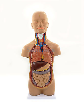 50CM Height Anatomical Human Body Mini Torso Model 12 Parts Set Medical Science Easy to Install Teaching Resources medical anatomical torso anatomical model structure human organ system internal organs large throat gasen rzjp075