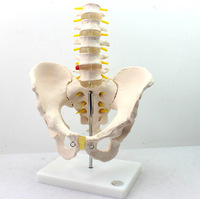 Human Model with Five section Lumbar Vertebrae Model Lumbar Spin Lumbar Spine Intervertebral Disc Pelvis Skeleton Model