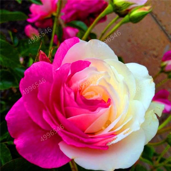 100pcs-Netherlands-Rose-Bonsai-Perennial-multiple-colour-rose-plants-for-home-garden-flower-plants-New-varieties (3)