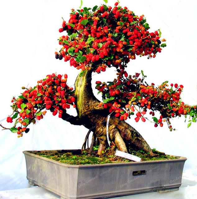 Us 0 25 49 Off Mulberry Bonsai Sweet Black Berry Giant Plants Miracle Fruit Plant Tohum Rare Tree Bonsai Garden Bush Diy Home Garden 100 Pcs In