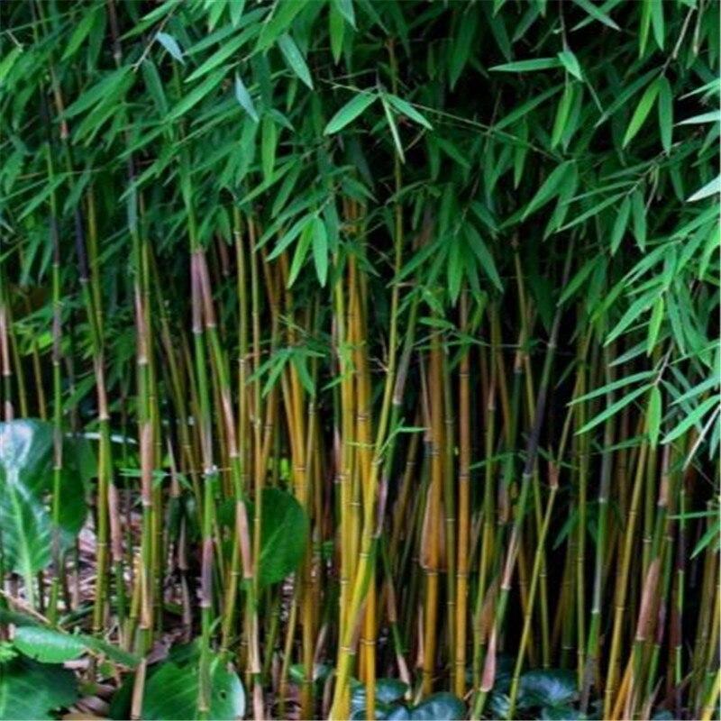 plants bambou. Black Bedroom Furniture Sets. Home Design Ideas