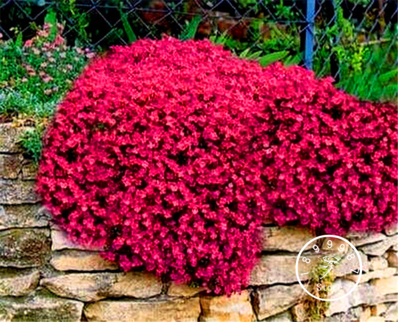 100 Pcs A Pack Lowest Price!Rock Cress Plants ,Groundcover Plantas,Perennial Ground cover garden decoration flower Bonsai