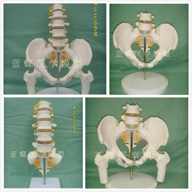 Human Lumbar Skeleton Model 11 Five Lumbar Spine With Tailbone