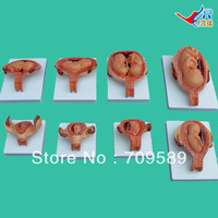 ISO Fetal Development Model, embryology models