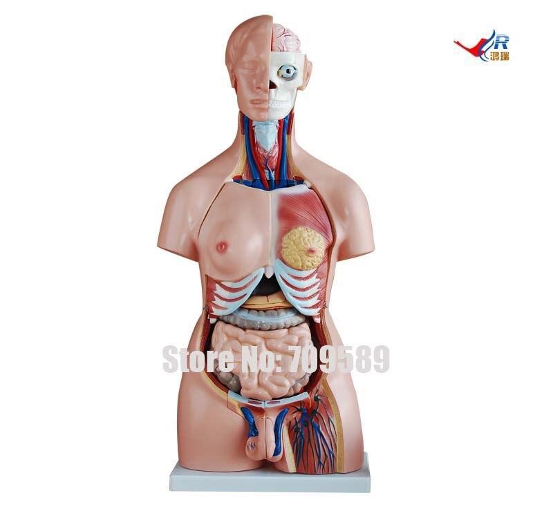 ISO 85 CM Dual Sex Torso Modello 40 parti, Torso umano modello