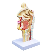 лучшая цена Human Anatomical Nasal Cavity Throat Anatomy Medical Model For Science Classroom Study Display Teaching Medical Model