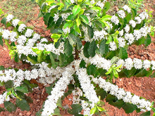 White Jasmine Seeds, 20pcs/pack