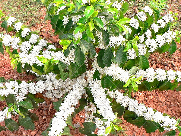 White Jasmine Seeds, 20pcs/pack