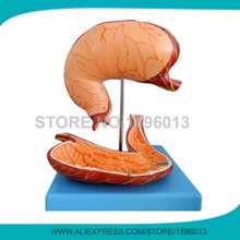 Advanced 2 Parts Human Stomach Model, Anatomical Gastric Model, Stomach 3D Model