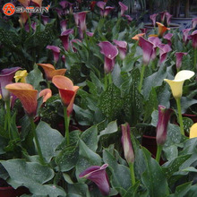 Rose Purple Calla Lily Seeds Potted Balcony Calla Lily  Radiation Absorption 100 Particles / lot