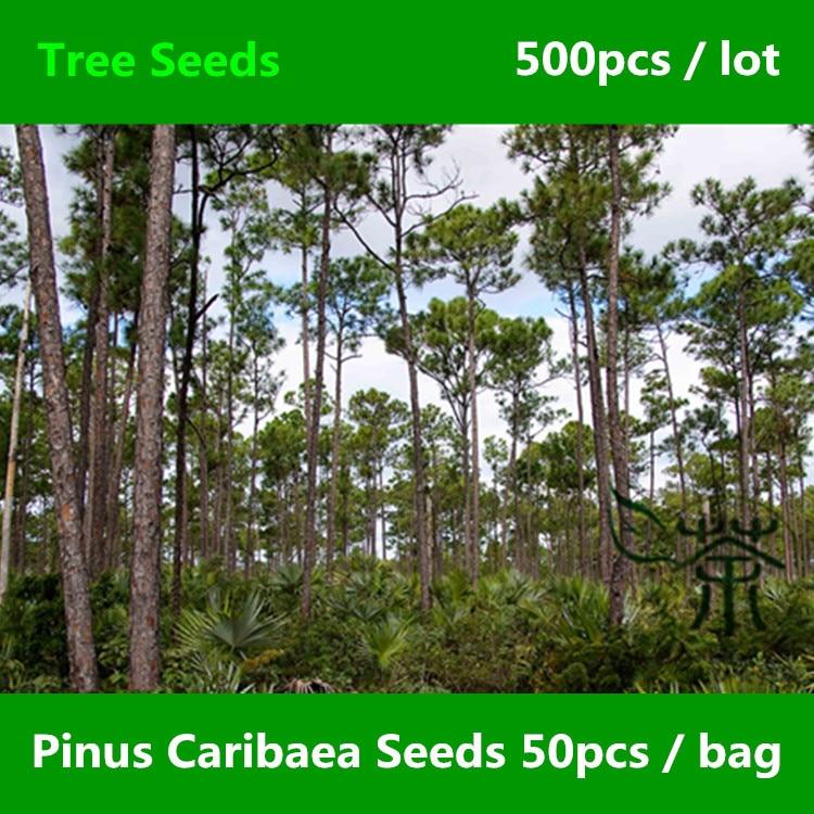 ^^Family Pinaceae Caribbean Pine ^^^^ 500pcs, Pinus Caribaea Evergreen Tree ^^^^, Landscape Ornamental Plant Bahamas Pine ^^^^
