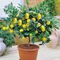 50 bonsai Lemon Tree Seeds Alta Tasa de supervivencia unids/bolsa Fruta Bonsai Semillas de Flores de Semillas Para El Jardín de Su Casa