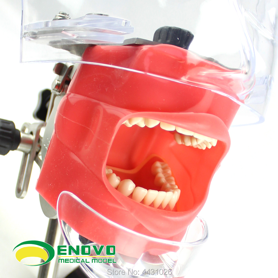 ENOVO Dental dentistry teaching system of high-end professional oral bionic head mold system
