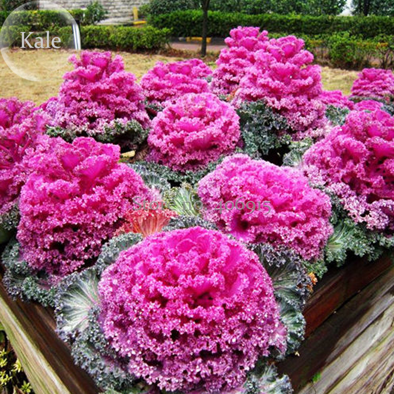 Online Get Cheap Kale Flower Alibaba Group