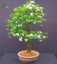 30pcs Hawthorn Crataegus Monogyna Bonsai Tree Seeds