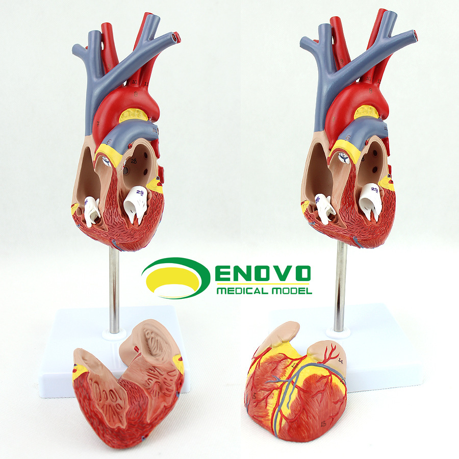 High Quality 1:1 Human Heart Model B Ultrasound Ultrasound Medical Cardiology Anatomical Medical Teaching Model shunzaor dog ear lesion anatomical model animal model animal veterinary science medical teaching aids medical research model