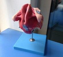 Female Genital Organs, Female Reproductive Organ Structure Model