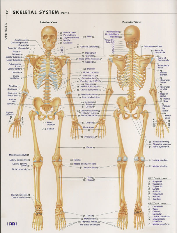 """002 Human System Body Anatomical Chart Muscular Skeletal 30/""""x24/"""" Poster"""