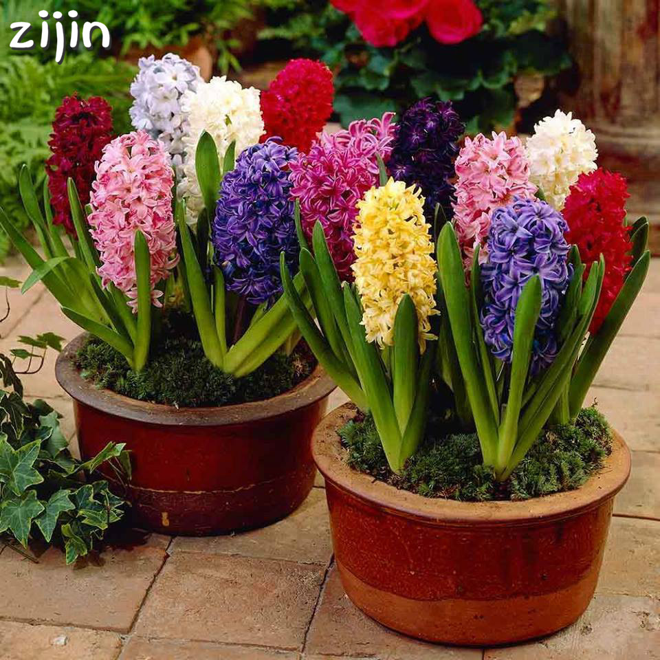 100pcs Hyacinth Bonsai Perennial Hyacinth Potted Plant Indoor Plant Easy Grow In Pots Bonsai Plant Flower For Home Garden(China)