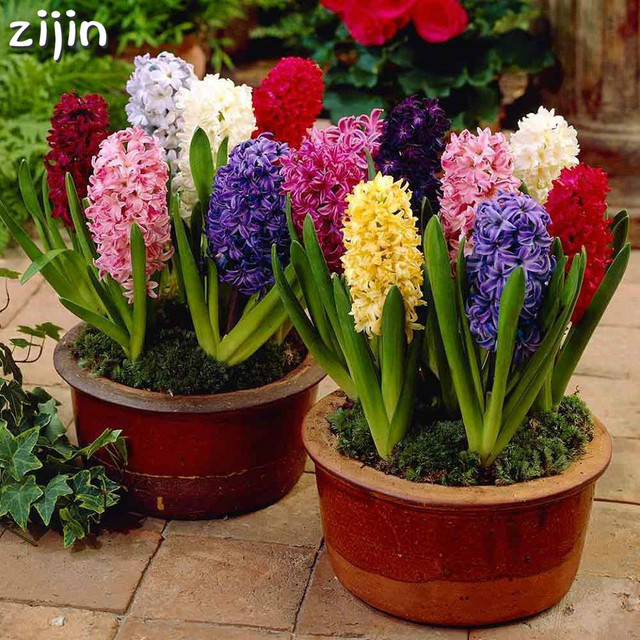 100 piezas Hyacinth bonsái perenne Hyacinth maceta planta interior fácil de cultivar en macetas bonsái planta flor para el jardín del hogar
