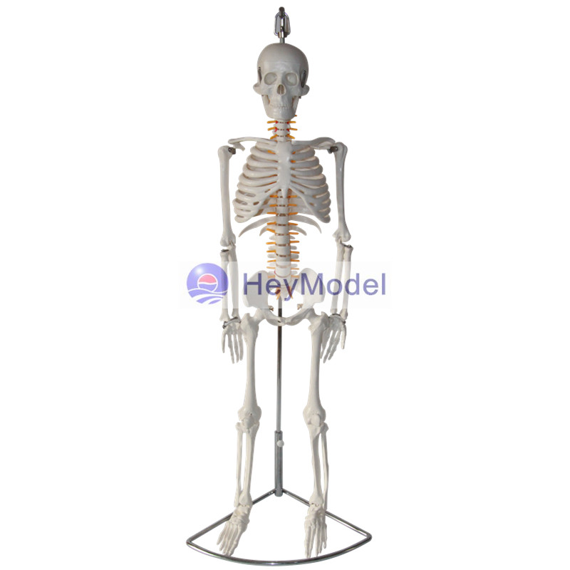HeyModel Artificial Skeleton Model for Teaching Use With nerve, Bendable, Hanging Type some nerve