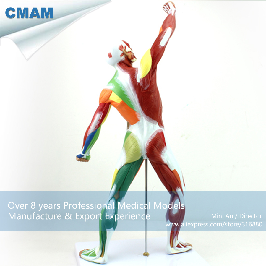 12308 CMAM-MUSCLE14 Small 55cm Human Body Model of Color Muscle Module , Medical Science Educational Teaching Anatomical Models cmam a29 clinical anatomy model of cat medical science educational teaching anatomical models