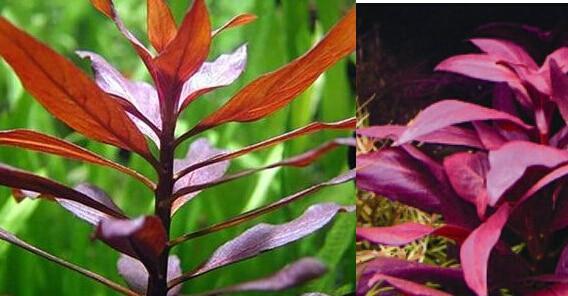 online shop pcs a lot red leaves aquarium plants seeds, Natural flower