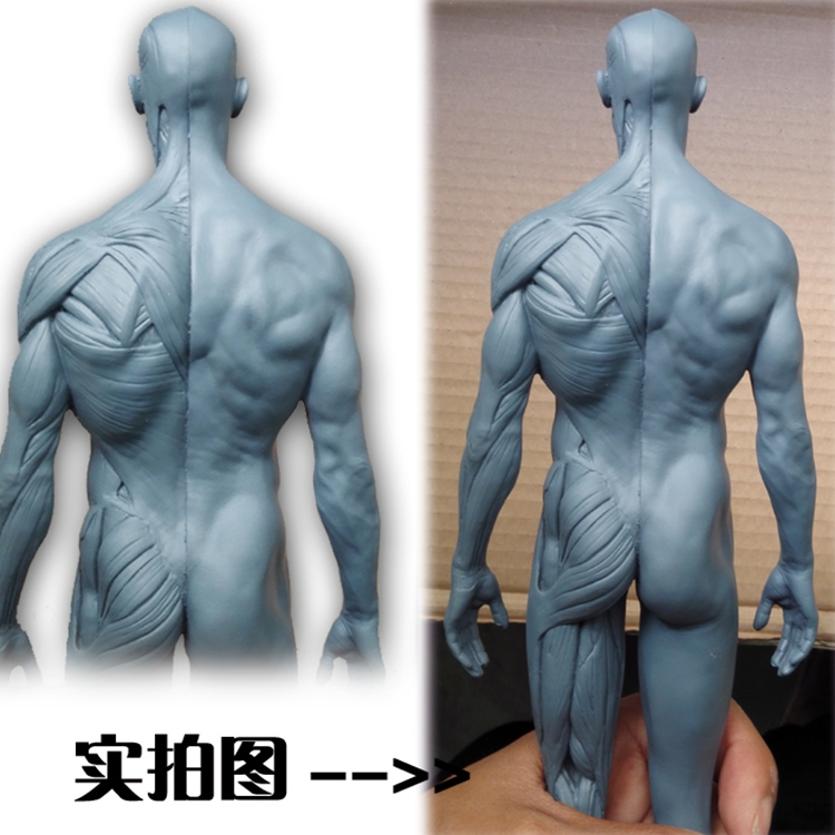 discount anatomical Muscle human 2