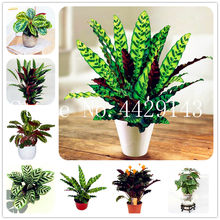100 Pcs Flower Plant Rare Calathea Warscewiczii Bonsai Easy to Grow,Office Desk Bonsai for Flower Pot Planters DIY Home Garden(China)