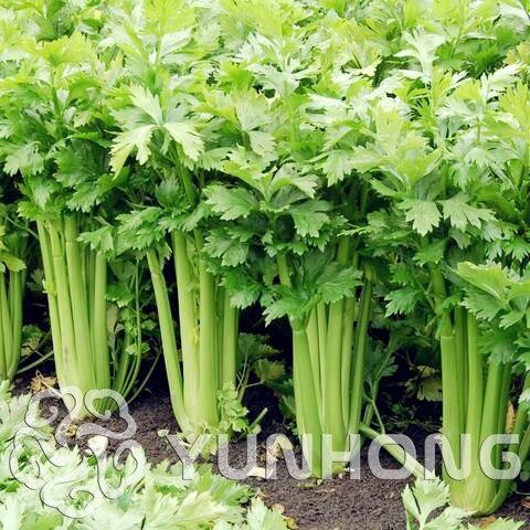 Tabs Promotion! 100 stk persille bonsai koncentreret smag og delikat crunchy selleri plante lille hjem garden cultivati