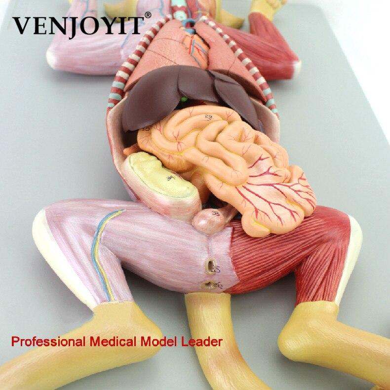Кошка анатомическая модель органа домашних животных висцеральная мышечная Неврология ветеринарная животноводческая учебная карта животн