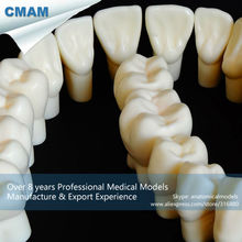 CMAM-DT117 Quality Natural Resin Made 5 Time Permanent Anatomy Model with 28pcs Teeth