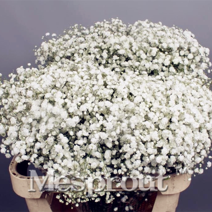 100 pcs seedscolor gypsophila babys breath diy garden popular easiest growing