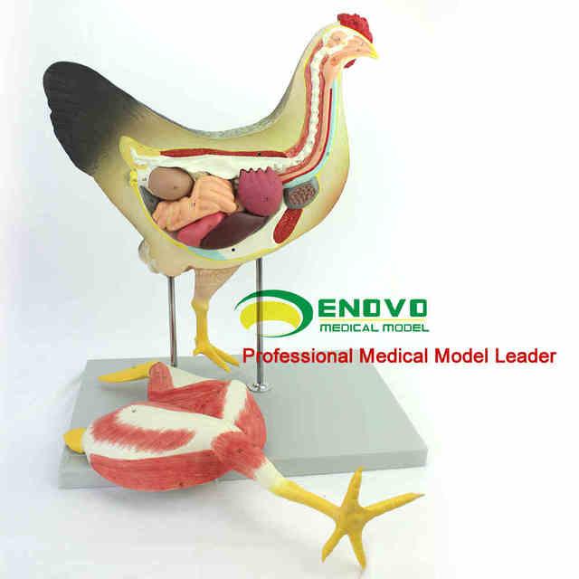 Pollo modelo anatómico 52*38*20 cm aves anatomía órgano visceral los ...